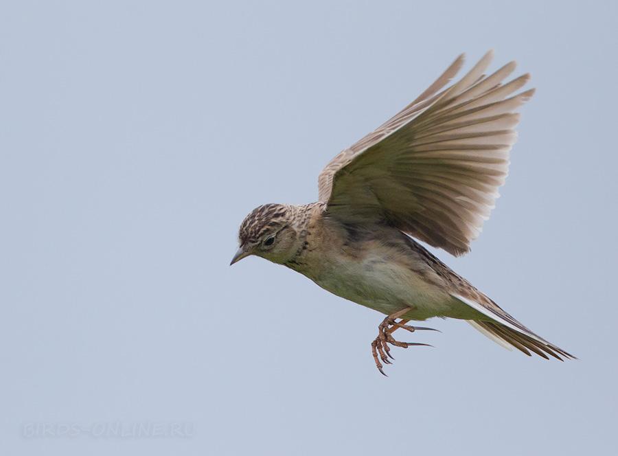 Птицы дальнего востока фото с названиями